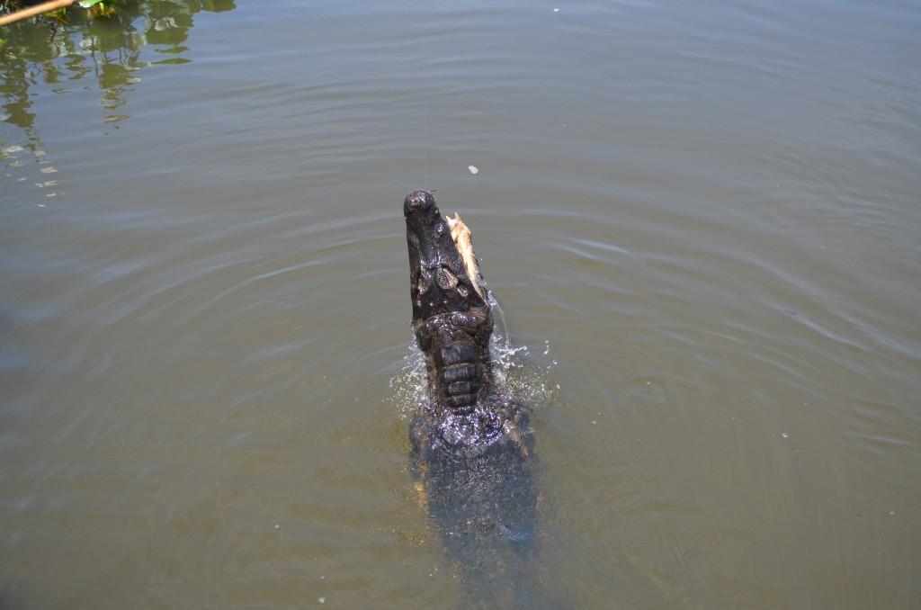 jacare cayman pantanal